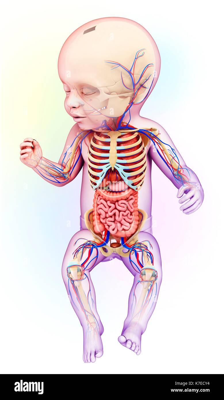 Ilustración de una anatomía del bebé Foto & Imagen De Stock ...