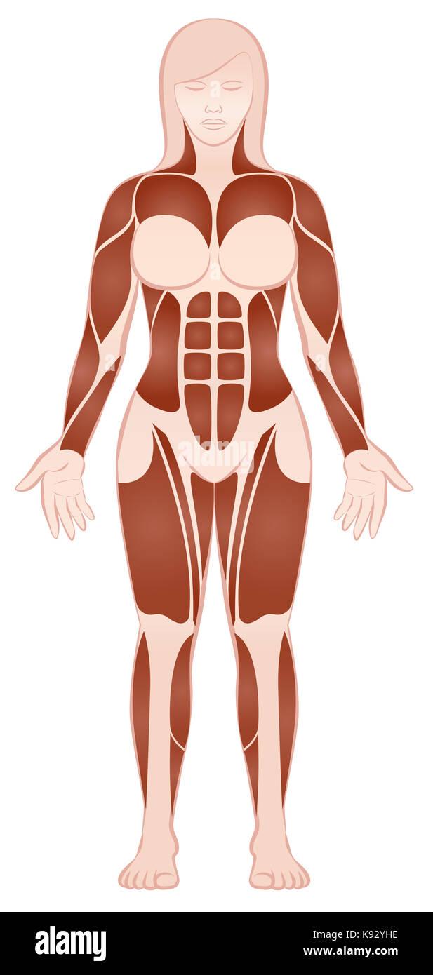 Los grupos musculares del cuerpo femenino con un musculoso pecs, ABS ...
