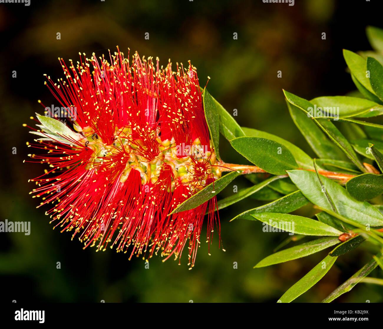 Flores de color rojo vivo y hojas de color verde brillante, nativa ...