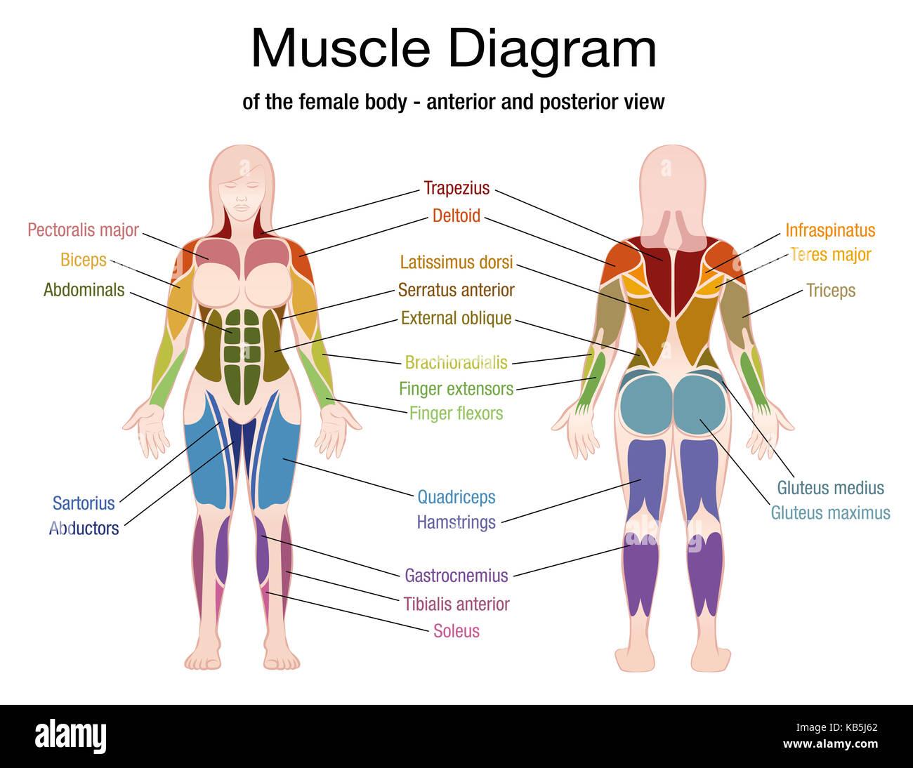 Hermosa Diagrama De Músculo Del Pecho Femenino Imagen - Imágenes de ...