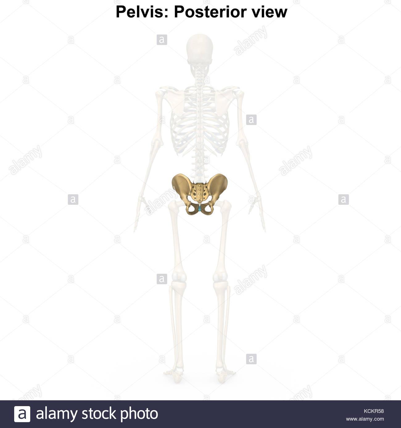 Esqueleto pélvico Foto & Imagen De Stock: 162704452 - Alamy