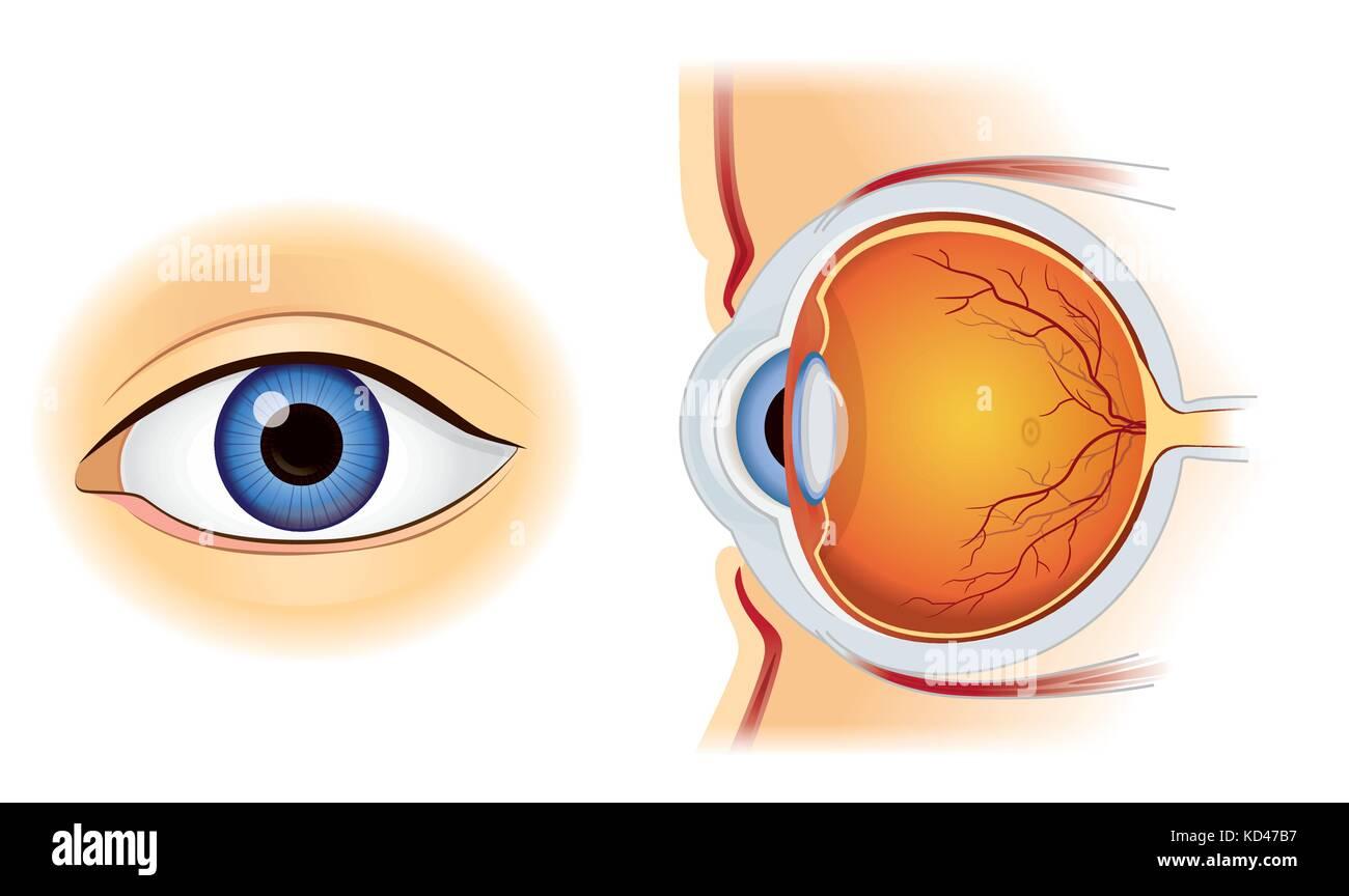 Anatomía del ojo humano en dentro y fuera vista lateral aislado en ...