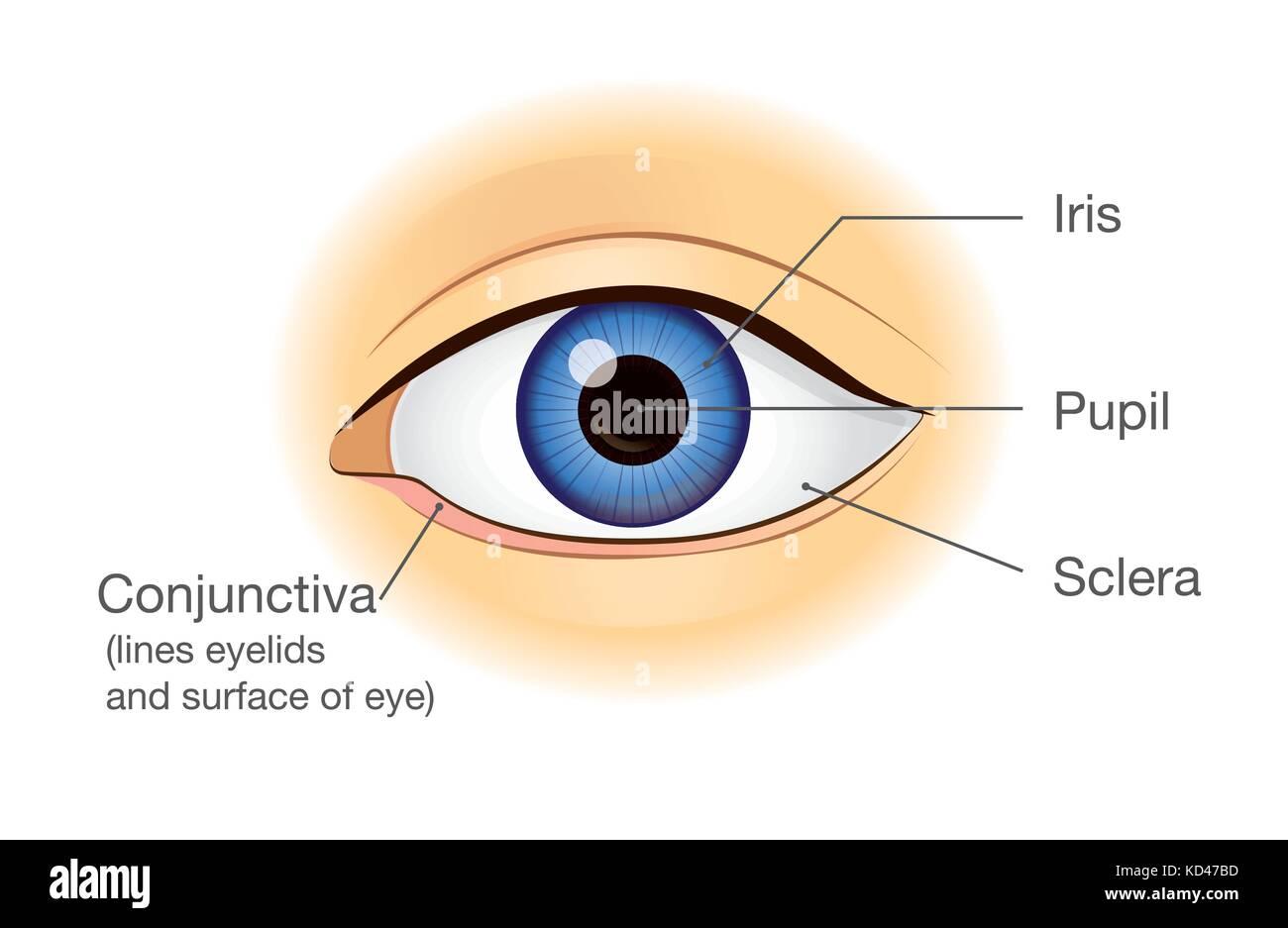 Anatomía del ojo humano en vista frontal Ilustración del Vector ...