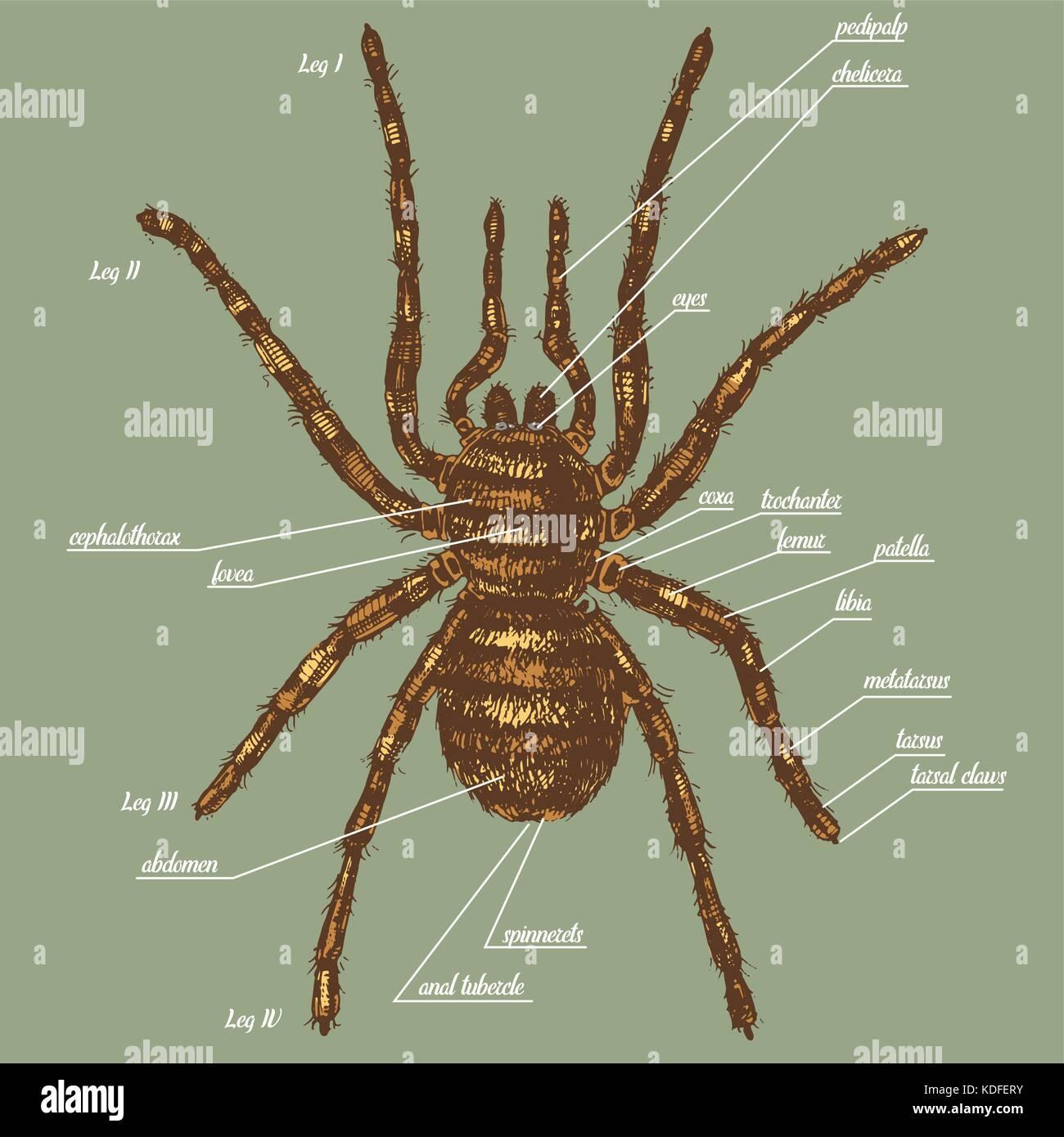 Ilustración de la anatomía de una araña incluir todos los nombres de ...