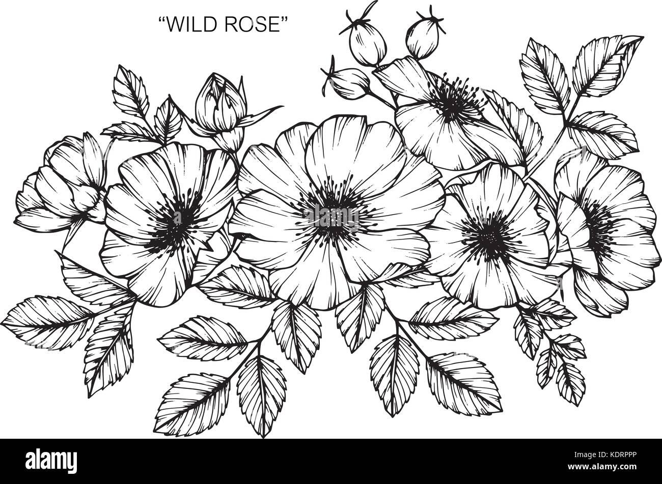 Las Rosas Silvestres Ilustracion Dibujo De Flores Blanco Y Negro