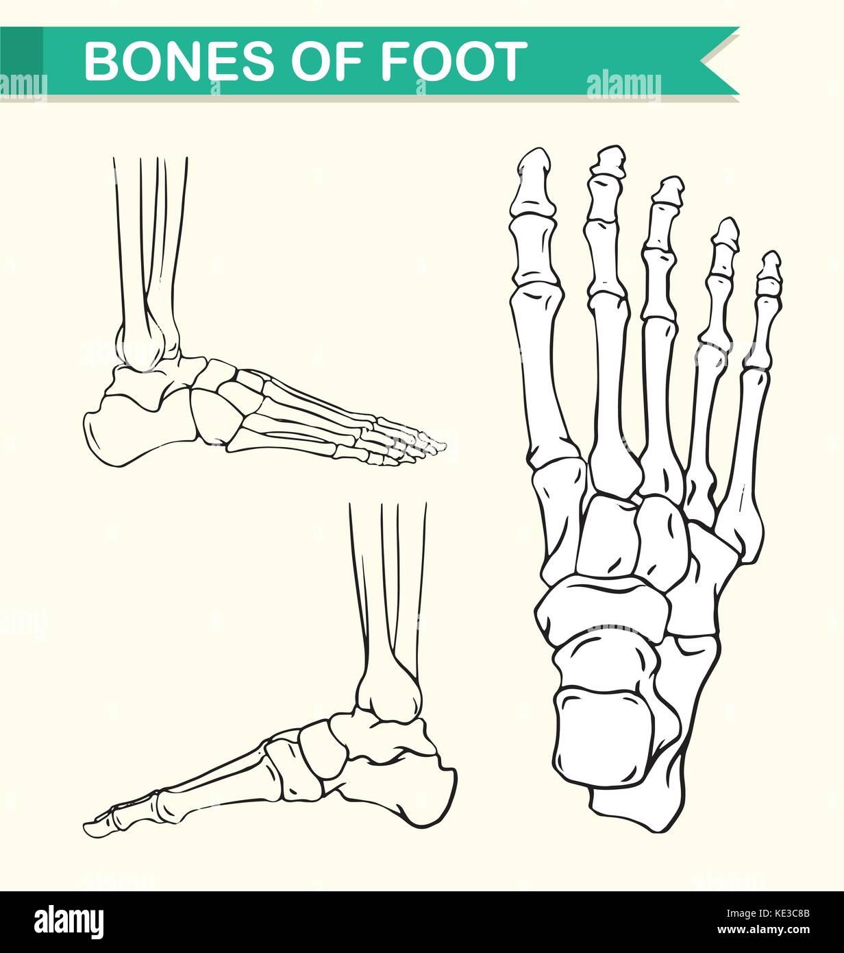 Diagrama que muestra los huesos del pie de ilustración Ilustración ...