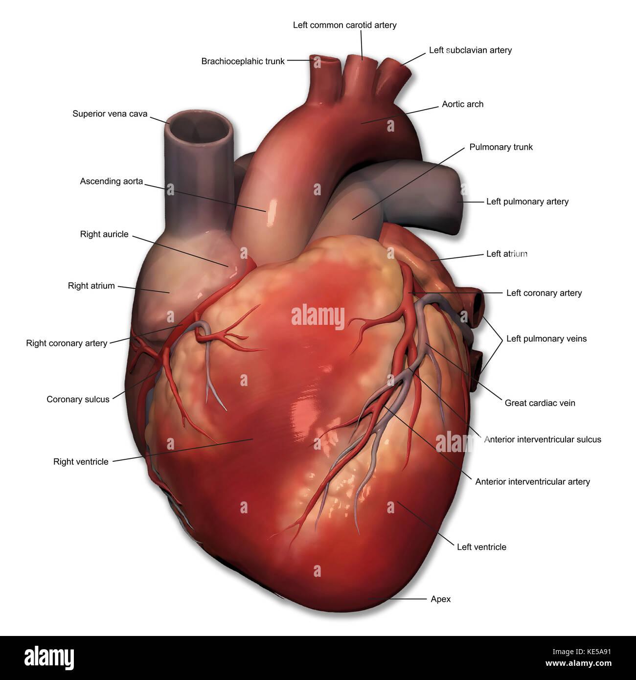 Vista anterior del corazón humano anatomía con anotaciones Foto ...