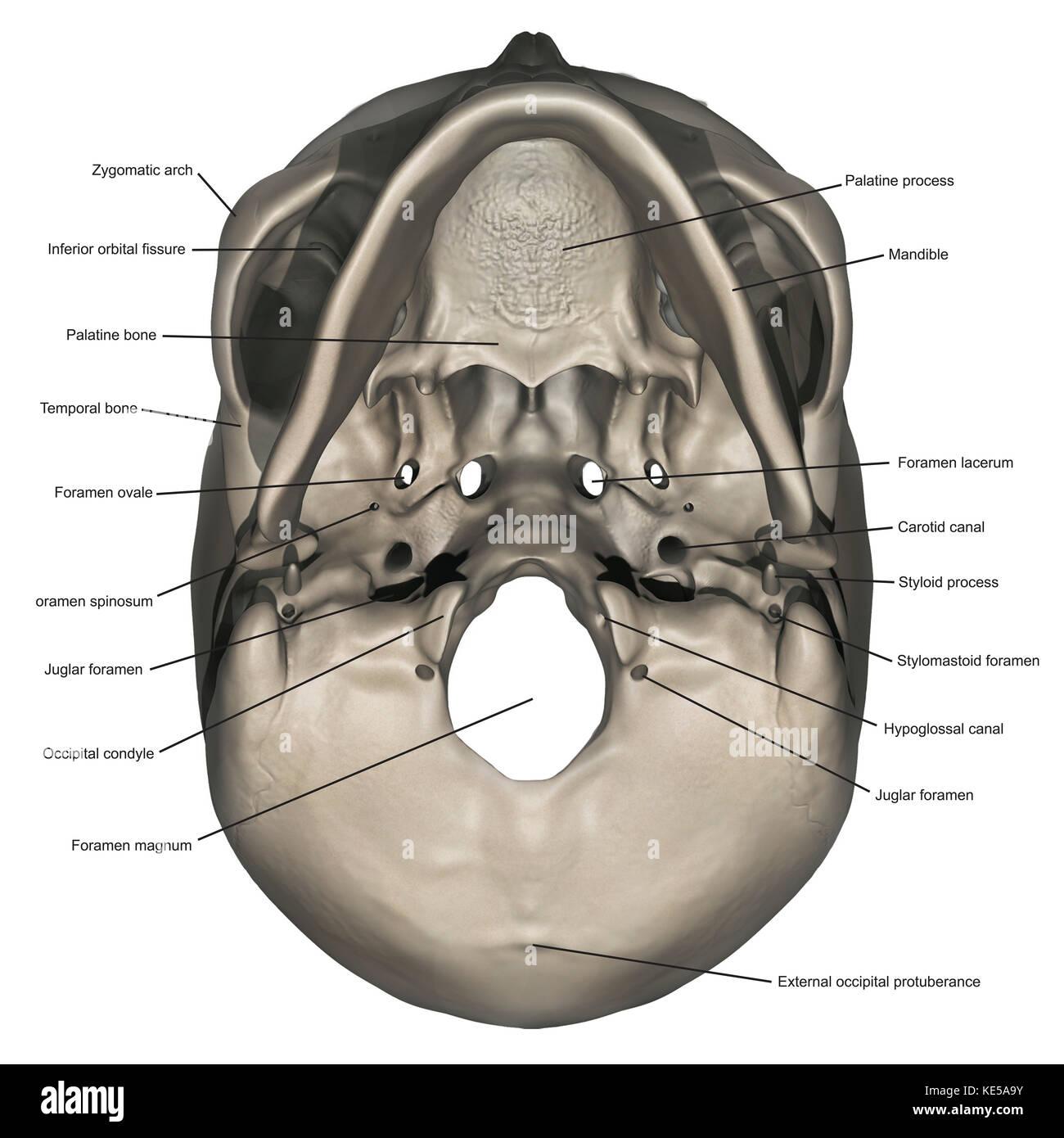 Vista inferior del cráneo humano anatomía con anotaciones Foto ...
