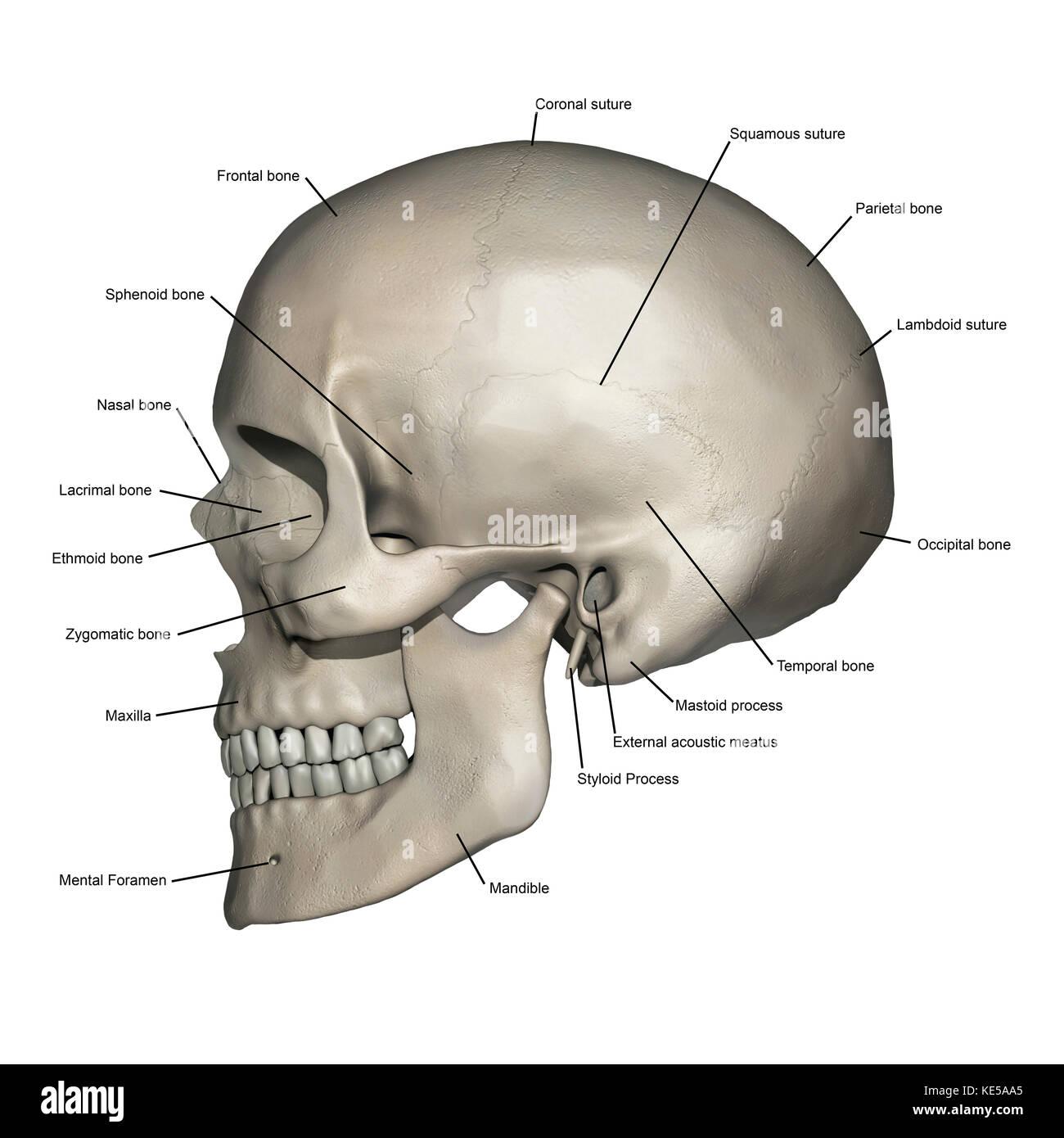 Lateral Vintage Anatomía Humana Completo Cráneo Wwwmiifotoscom