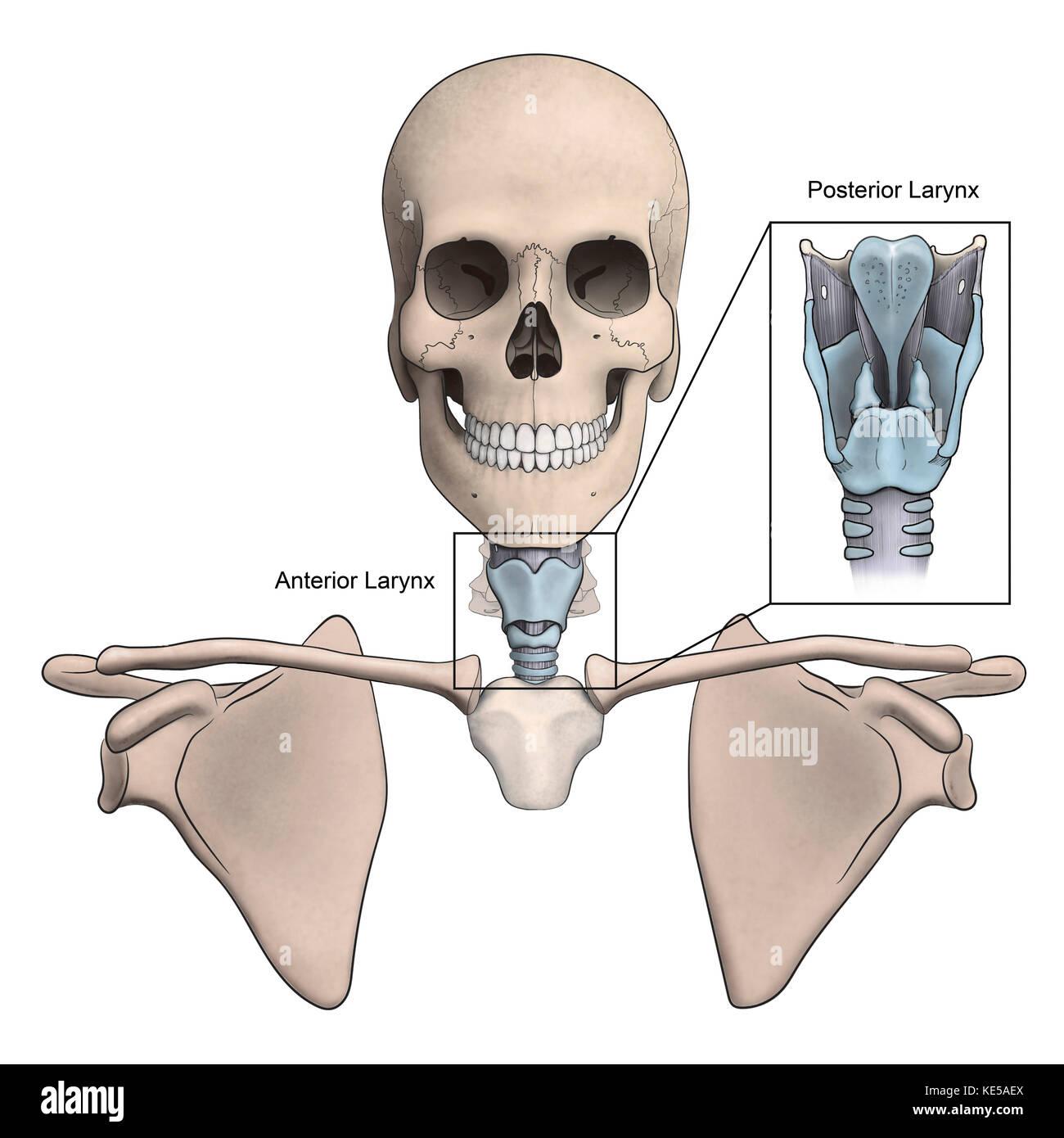 Anterior y posterior de la laringe y la anatomía esquelética Foto ...