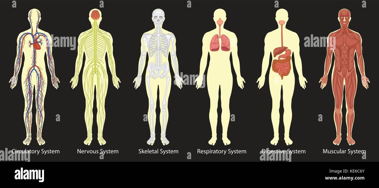 Diagrama de los sistemas en el cuerpo humano la ilustración ...