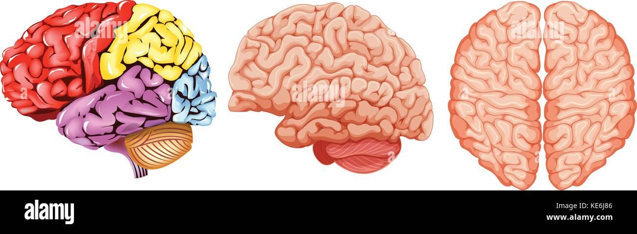 Diagrama distinto del cerebro humano ilustración Ilustración del ...