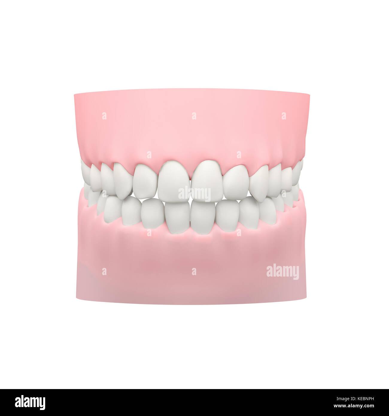 Los dientes humanos, modelo dental Foto & Imagen De Stock: 163757065 ...