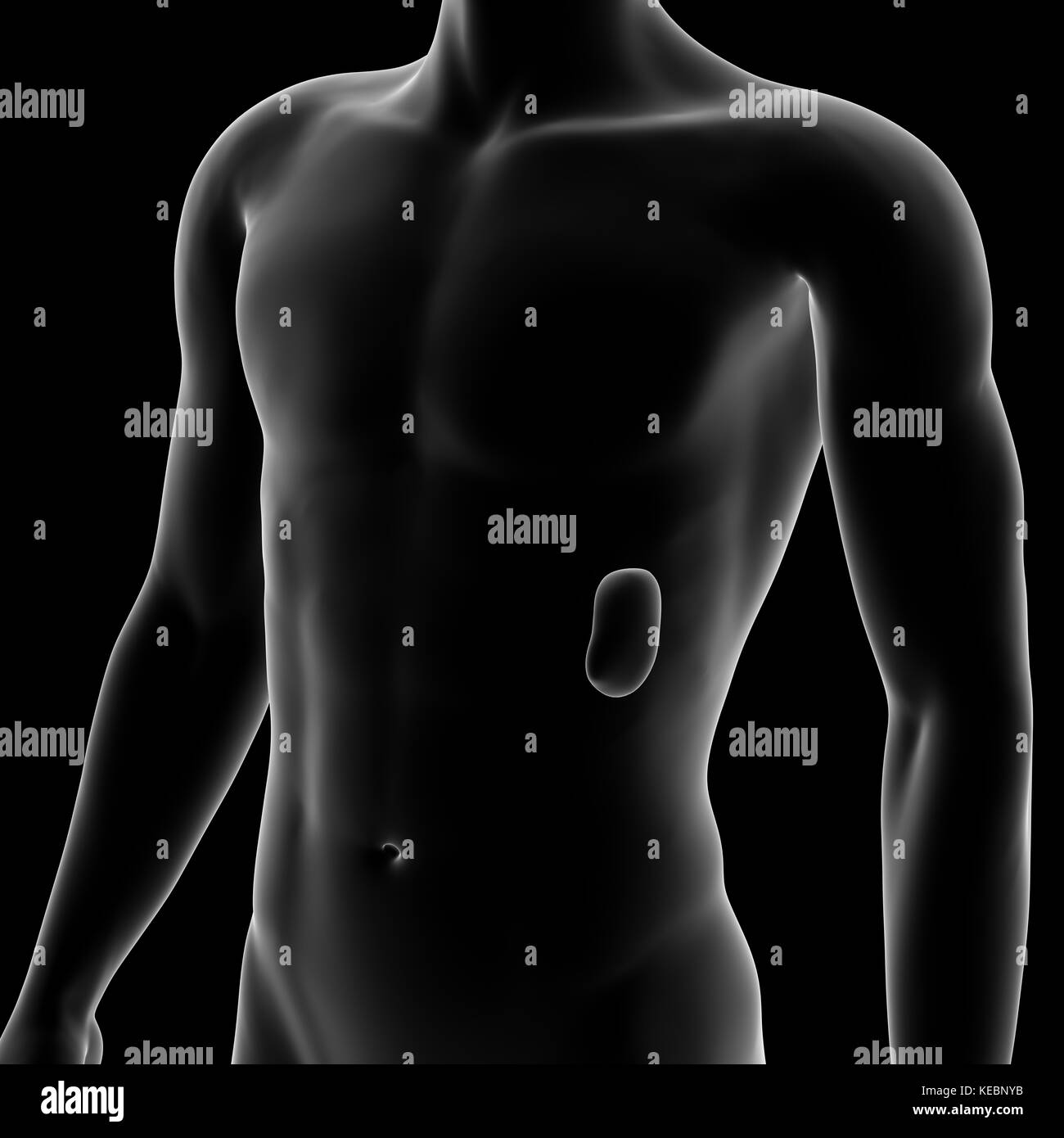 Bazo, órgano interno, cuerpo humano Foto & Imagen De Stock ...