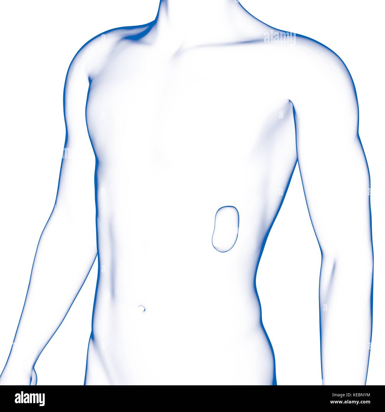Human Spleen Imágenes De Stock & Human Spleen Fotos De Stock - Alamy