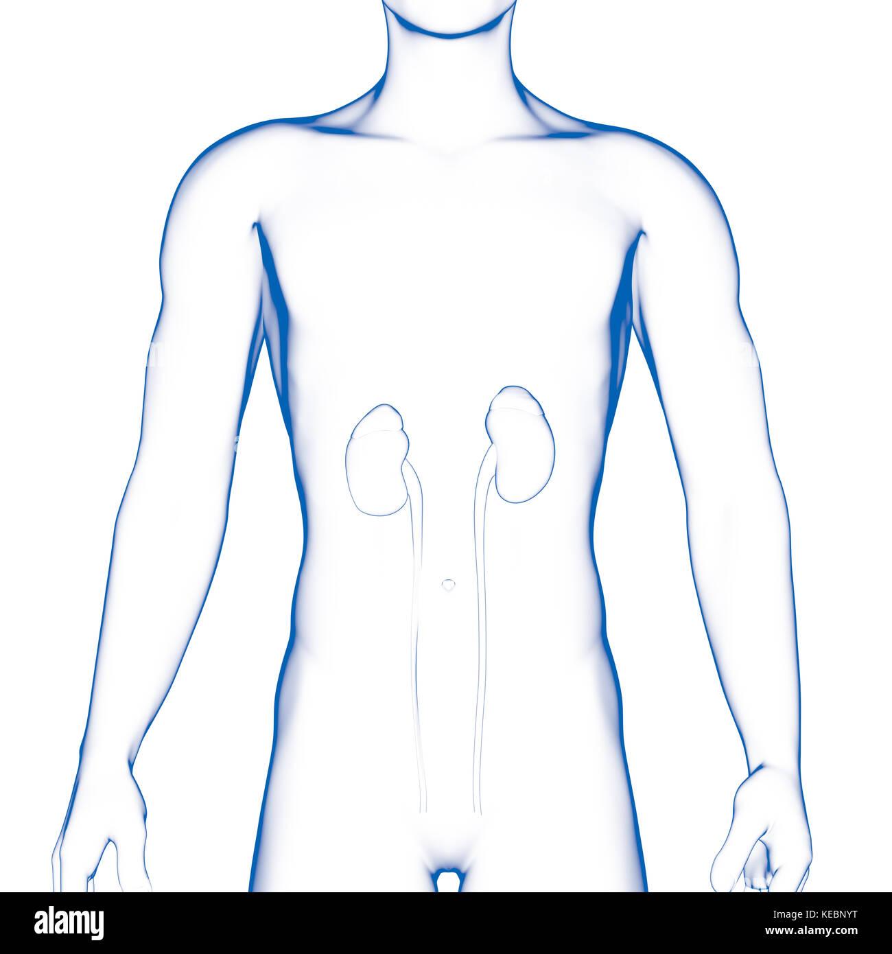Encantador órganos Internos Anatomía Humana Hembra Diagrama Modelo ...