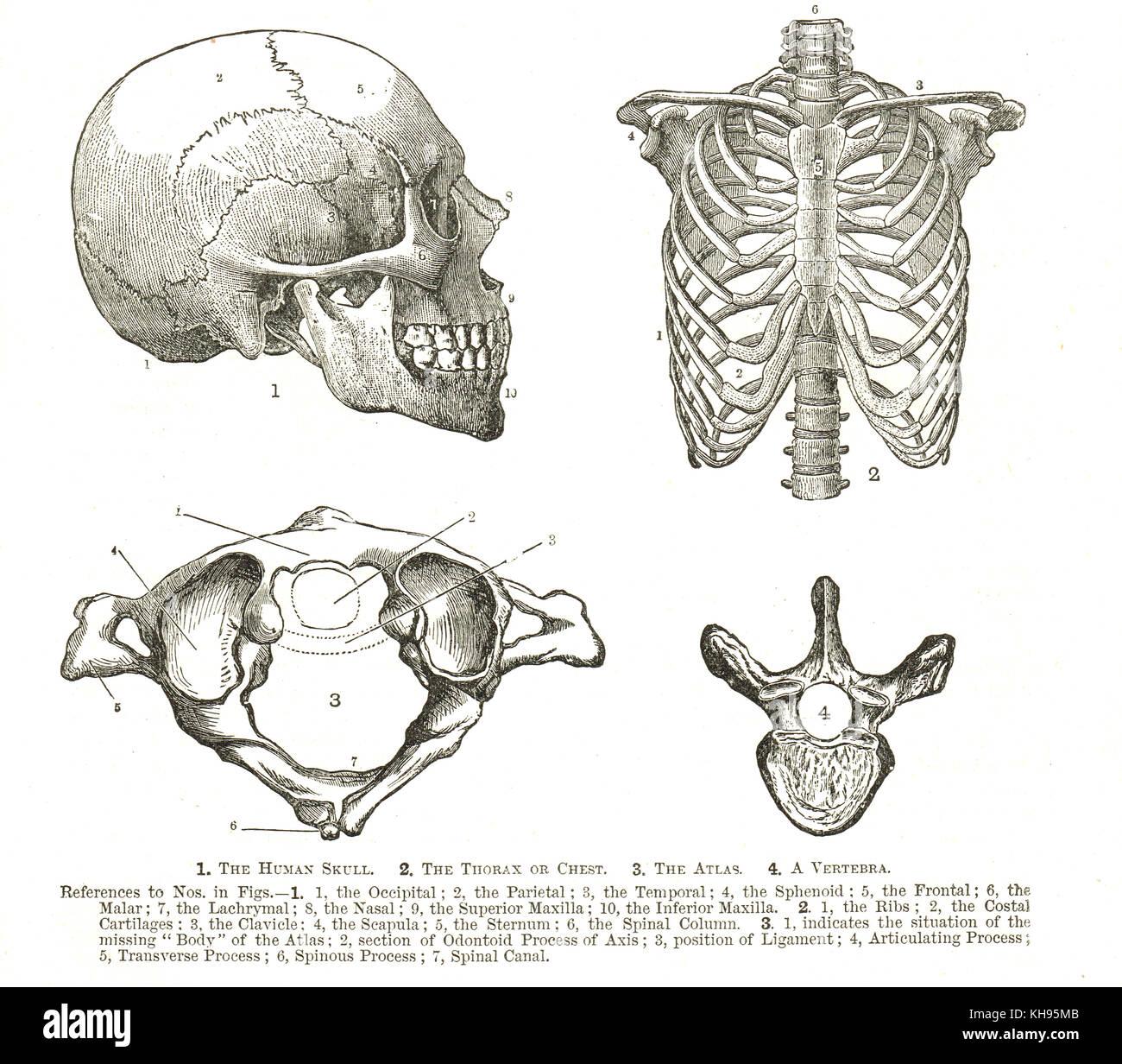 Anatomía Humana, del siglo XIX, diagramas de cráneo humano, el tórax ...