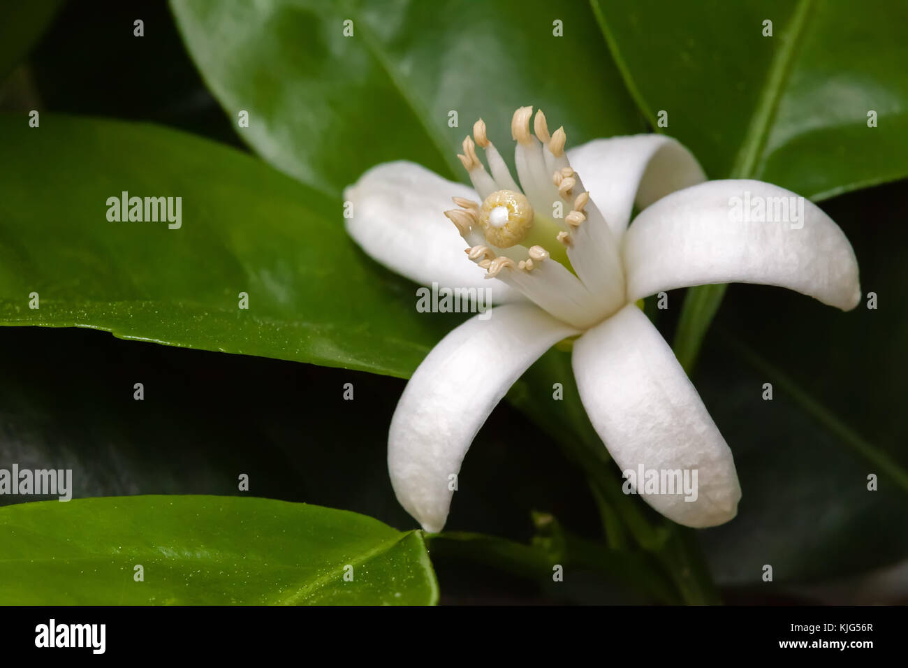 Orange Blossom blanca entre hojas. un primerísimo plano macro con ...