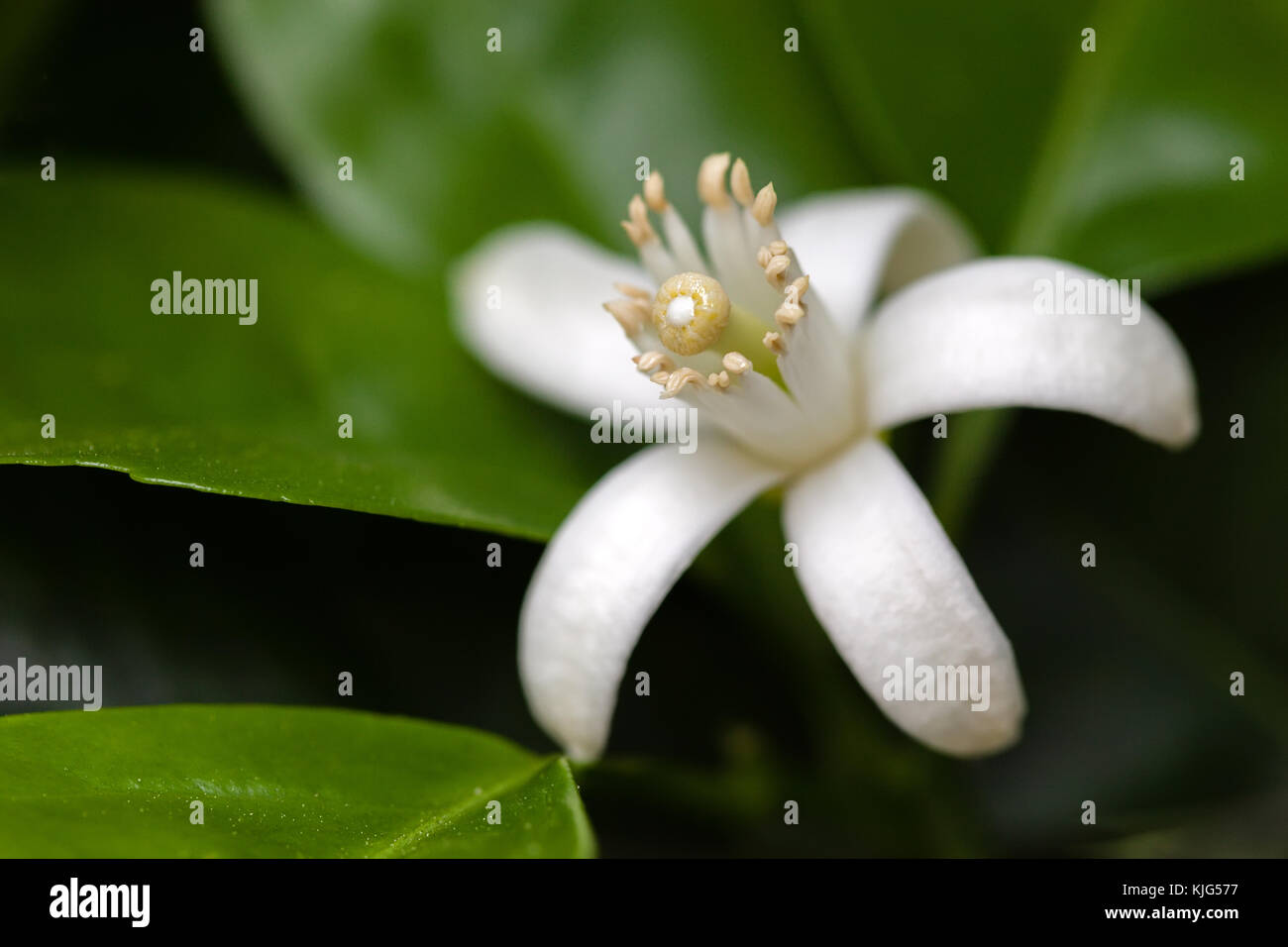 Orange Blossom blanca entre hojas. un primerísimo plano macro ...
