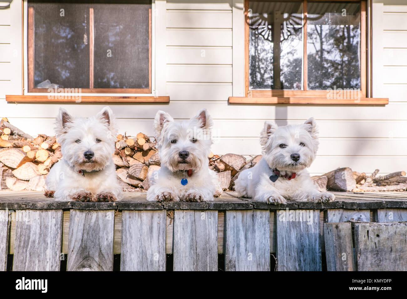 West Highland White Terrier perro pack sentar en una fila en el ...