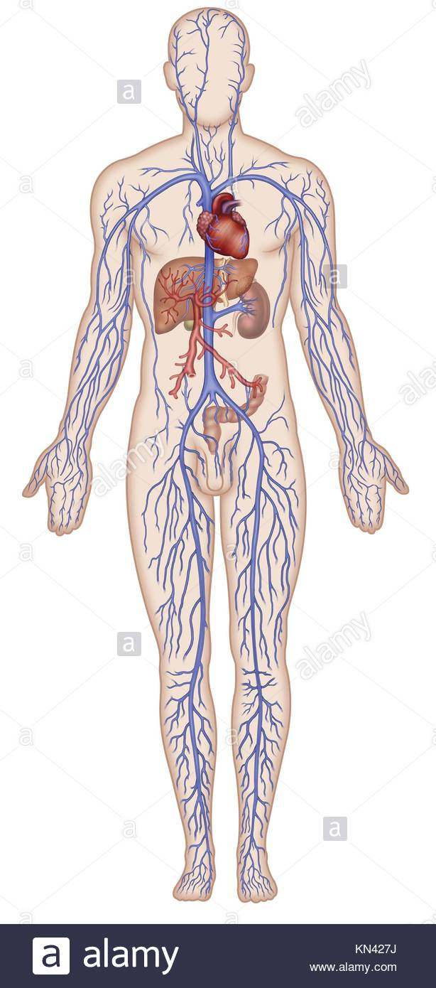 La ilustración de la figura humana con el sistema venoso, el corazón ...