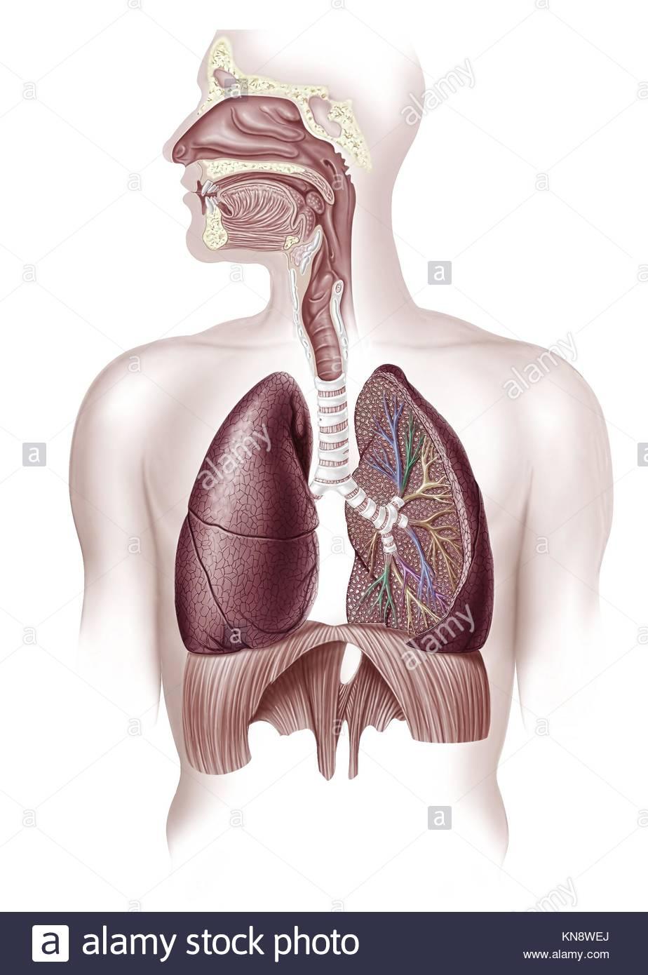 Diagrama de un corte sustem respiratorio humano, también la nasal y ...