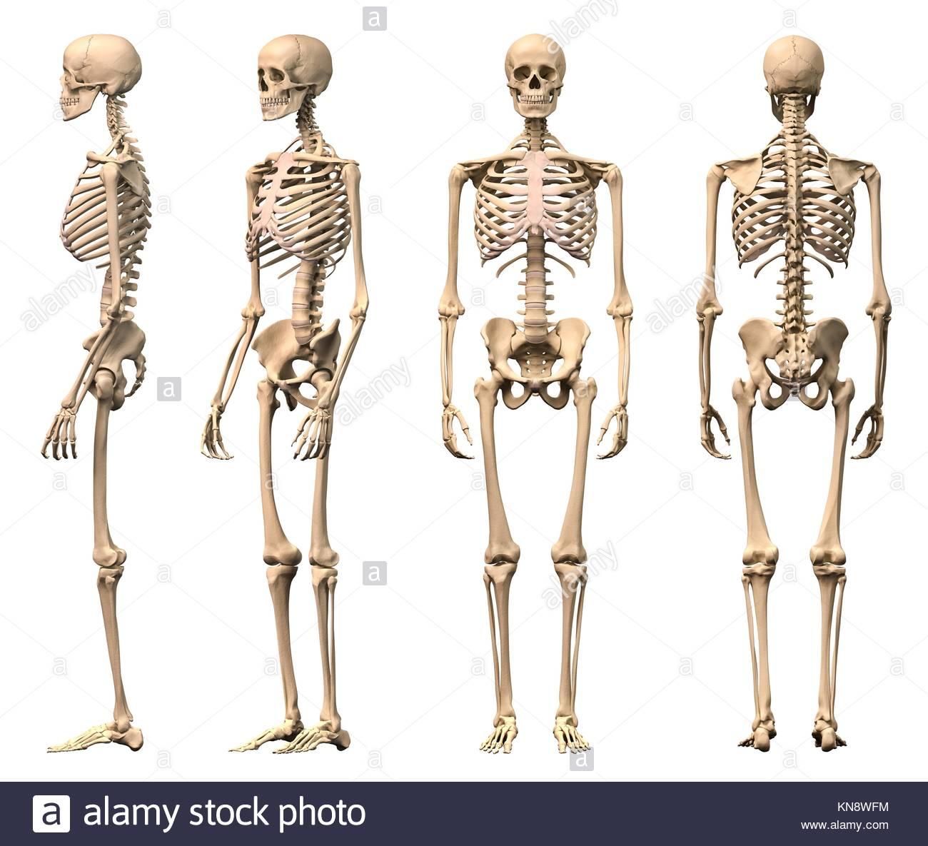 Esqueleto Humano masculino, cuatro vistas, frontal, posterior ...