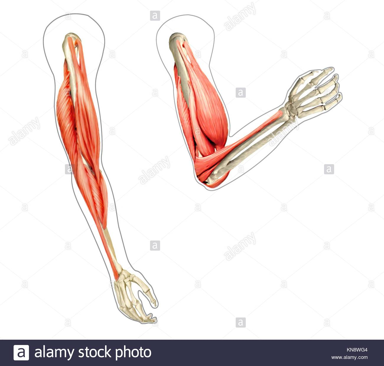 Los brazos humanos anatomía diagrama, mostrando los huesos y ...