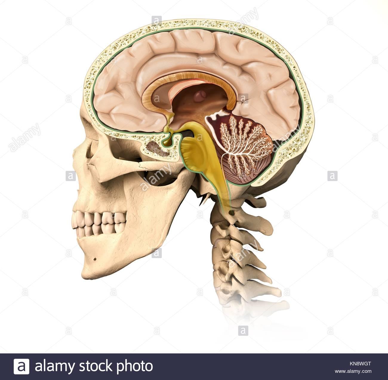 Muy detallada y científicamente correctos skullcutaway humano, con ...