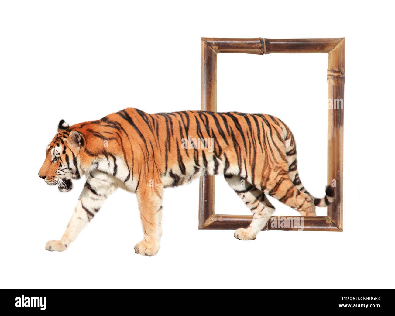 Tigre saliendo de un marco de bambú (efecto 3D). Aislado sobre fondo ...