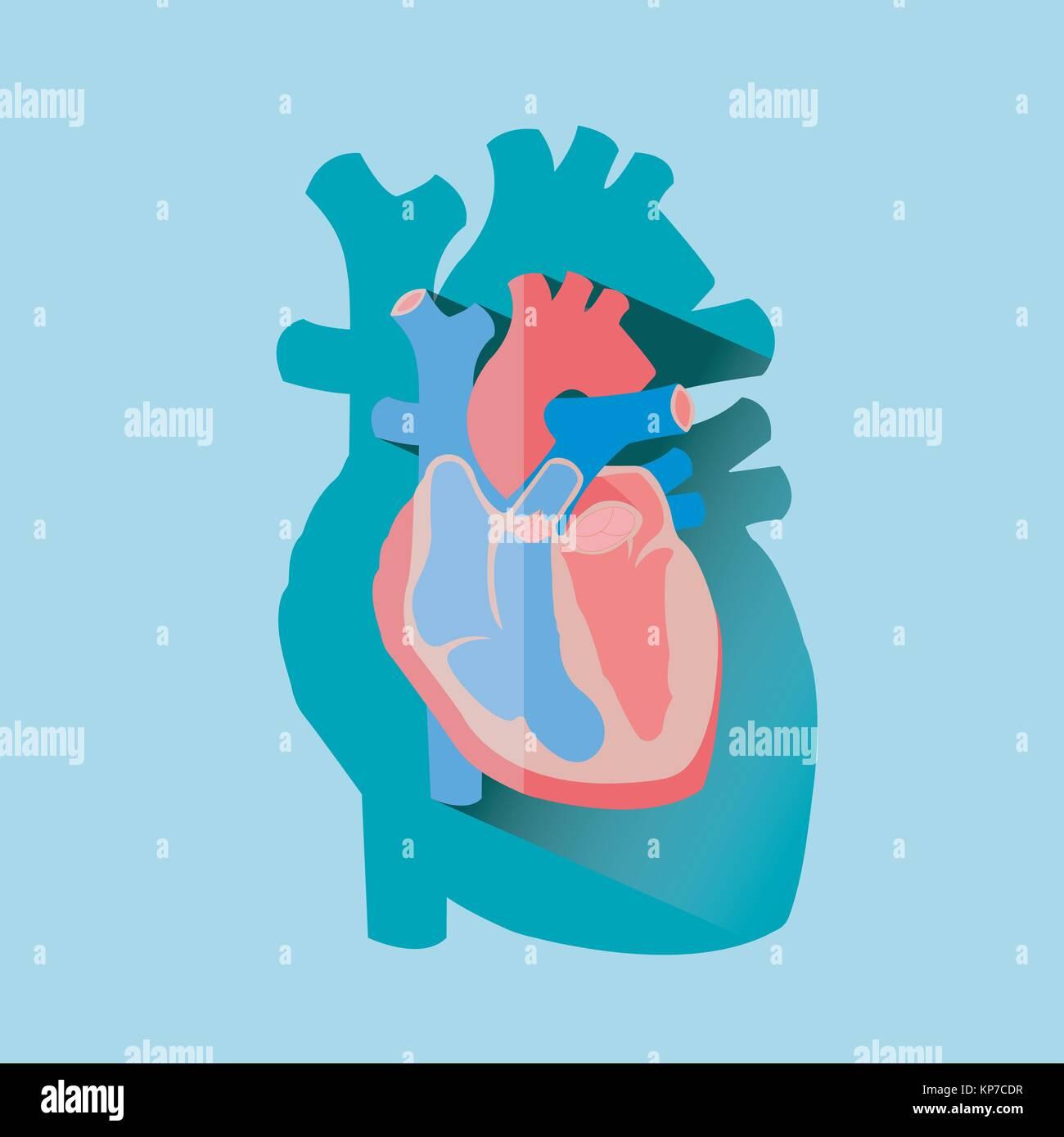 Sección transversal del corazón humano diagrama anatómico con arco ...