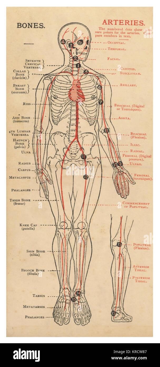 Un diagrama del cuerpo humano, con detalles de huesos y arterias ...