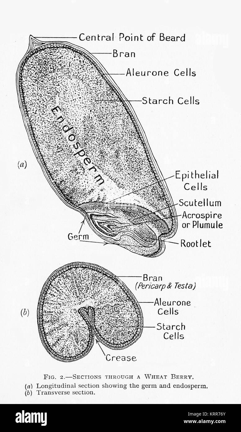 Un diagrama del siglo XIX de una sección transversal de un grano de ...