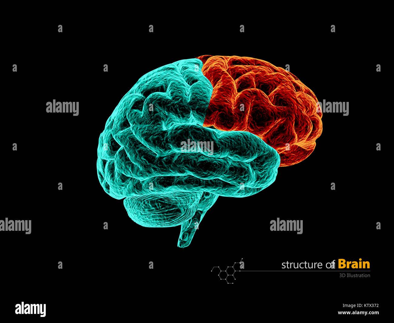 Anatomía del lóbulo frontal del cerebro humano estructura. Anatomía ...