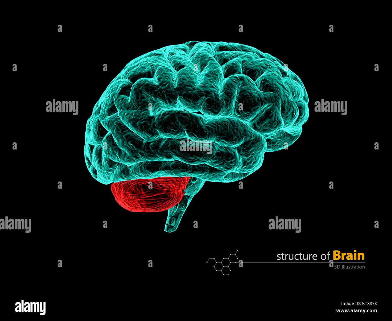 Cerebro Humano cerebelum, anatomía estructura. Anatomía del cerebro ...