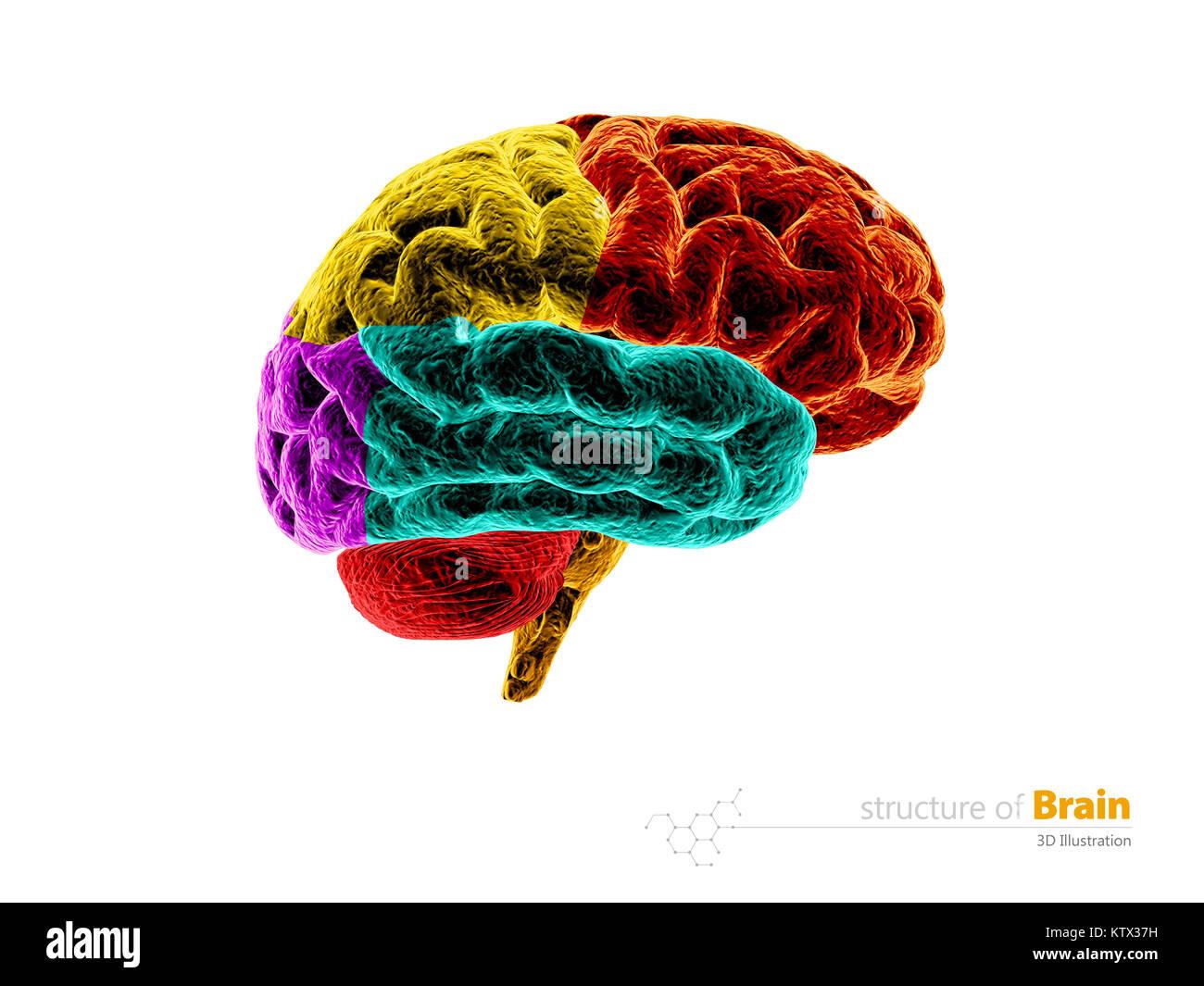 Anatomía del cerebro humano estructura. Anatomía del cerebro humano ...