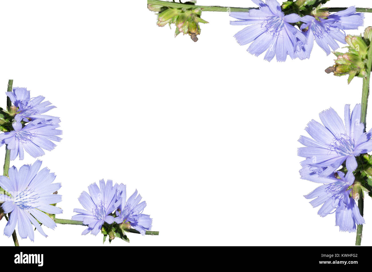 Arreglos De Flores Azul Claro Aislado En Un Fondo Blanco Closeup