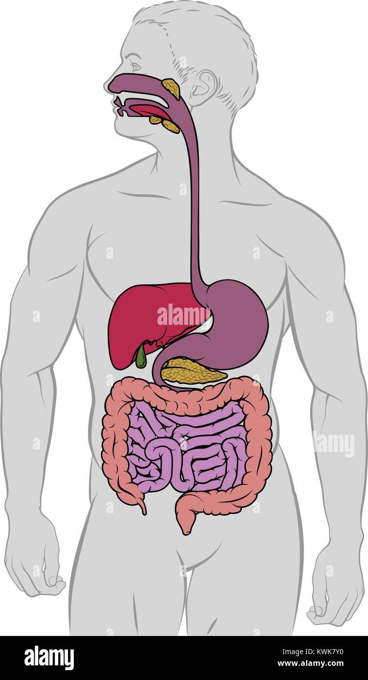 Diagrama de la anatomía del tracto digestivo Gastrointestinal ...