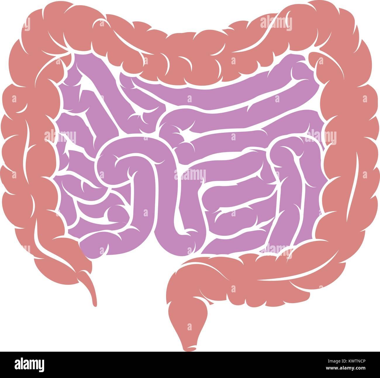 Diagrama del sistema digestivo Intestino intestino Ilustración del ...