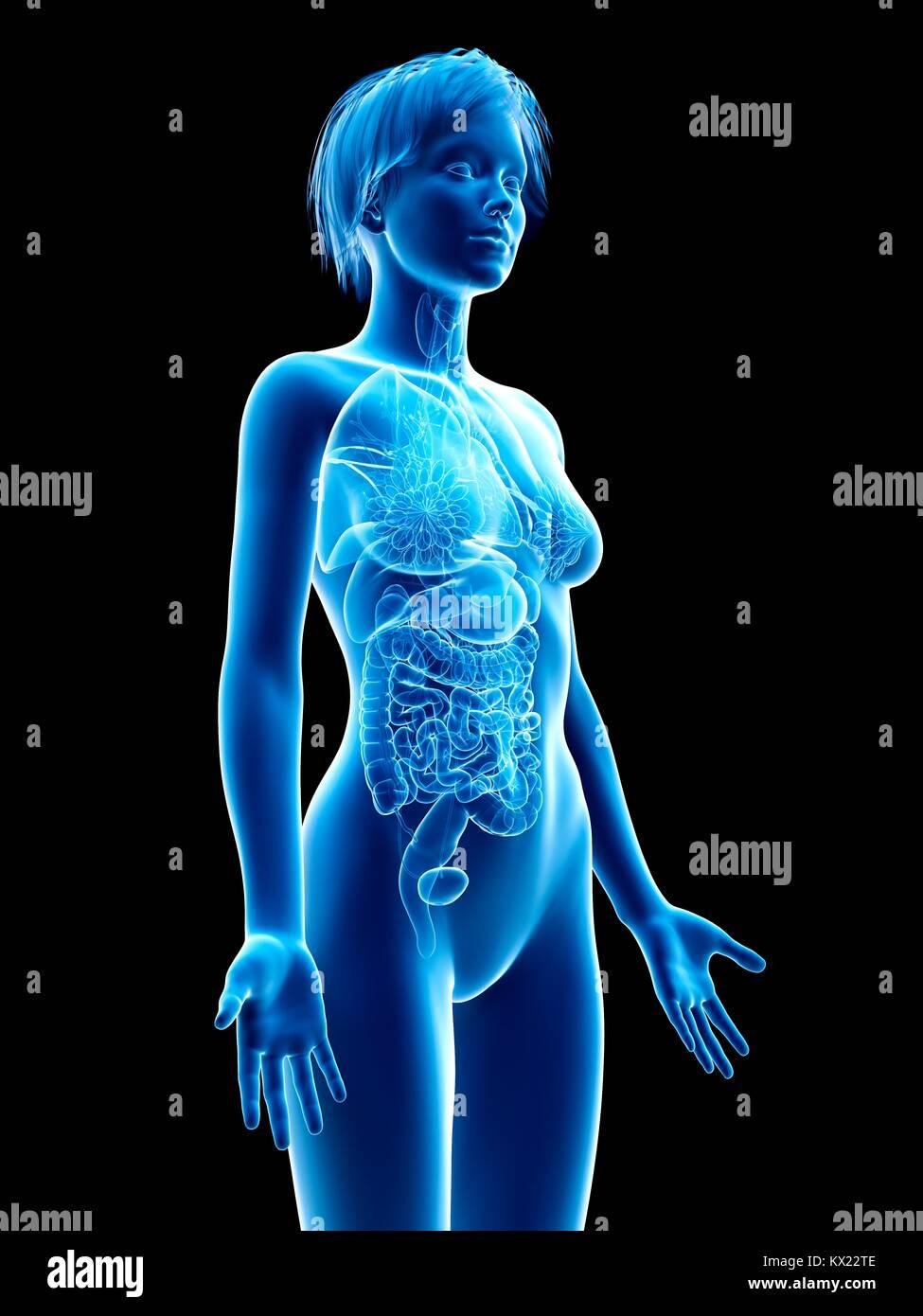 Los órganos internos femeninos, ilustración Foto & Imagen De Stock ...