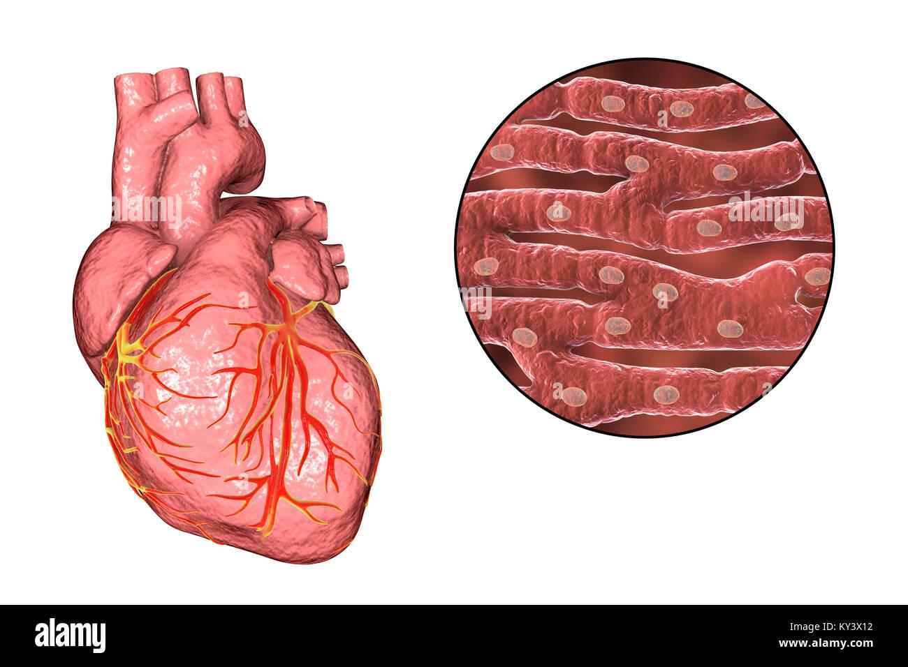 Corazón,ordenador ilustración.El corazón es un hueco (SAC) del ...