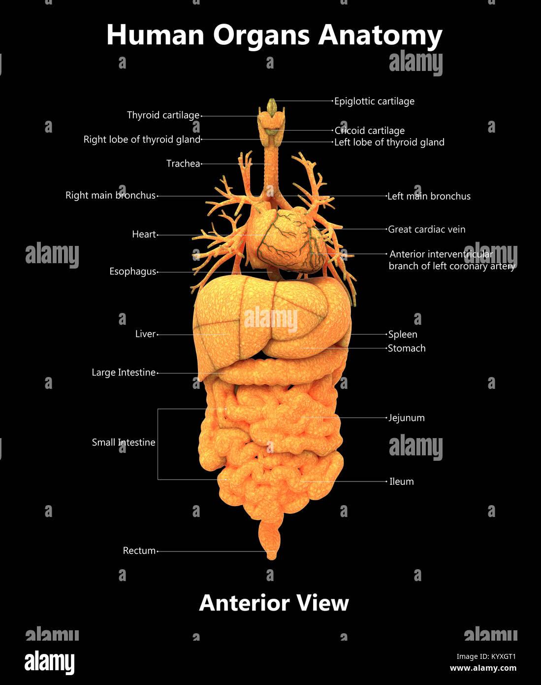 Órganos del cuerpo humano Anatomía vista anterior de diseño de ...
