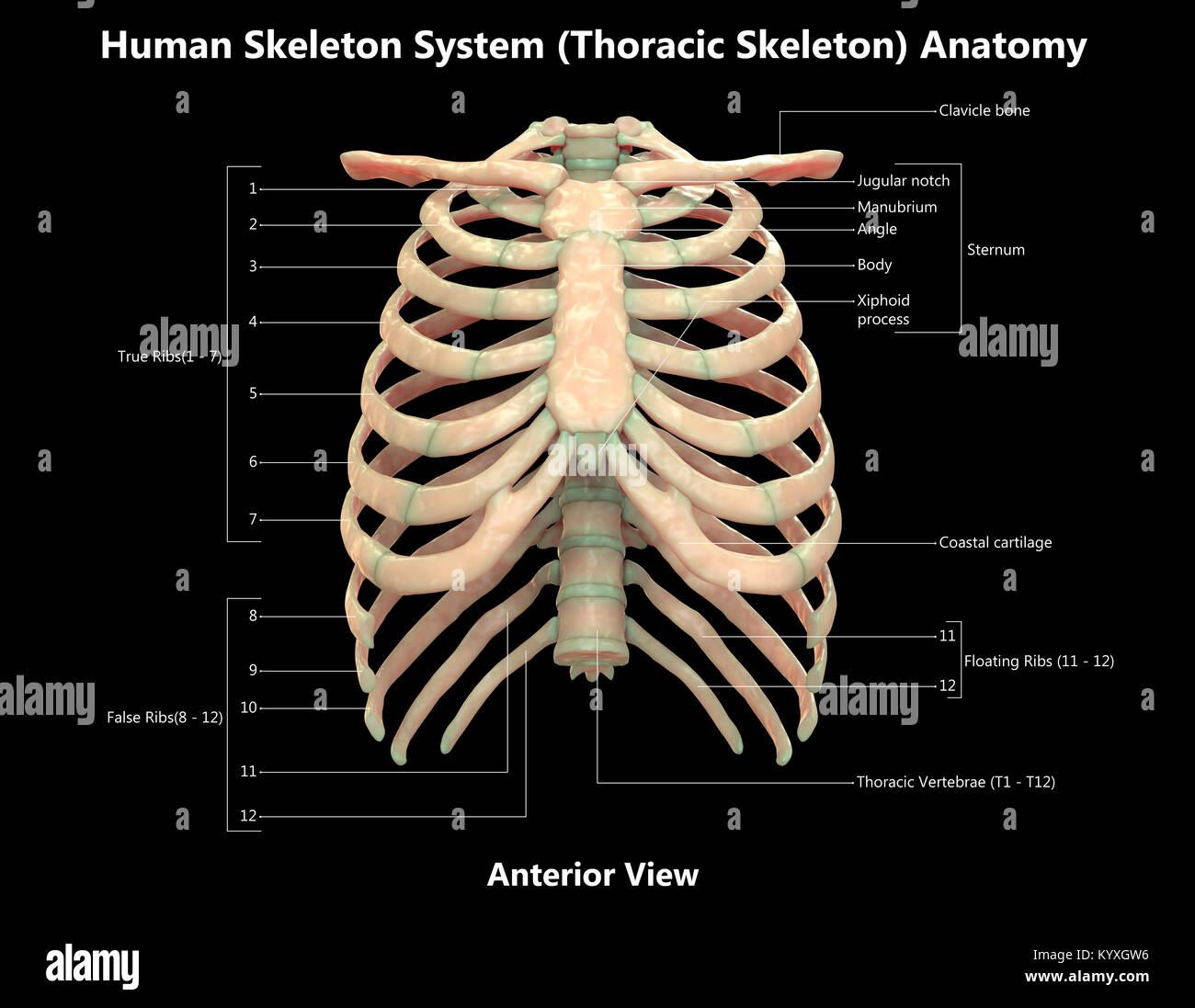 Sistema de esqueleto humano esqueleto torácico Anatomía Vista ...