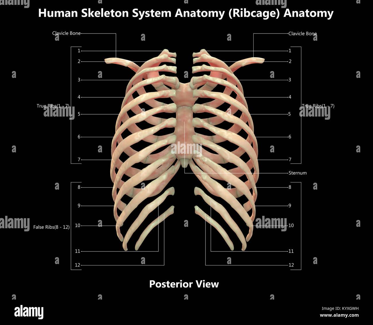 Asombroso Sistema De La Caja Gris Anatomía Ideas - Anatomía y ...