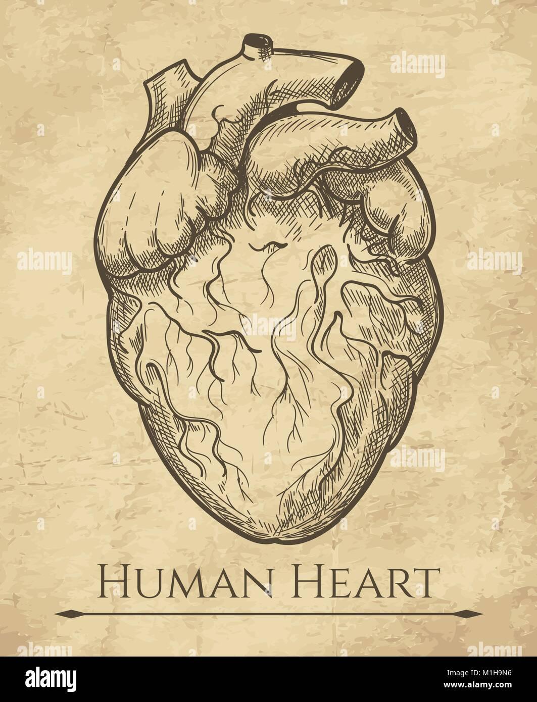 Croquis del corazón humano. Órgano anatómica del corazón grabado ...
