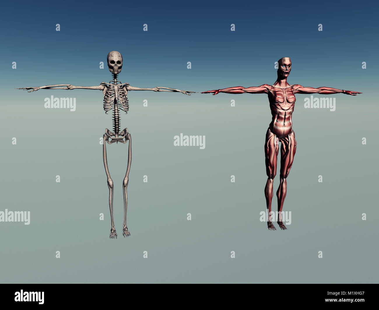 Anatomía Humana femenina Foto & Imagen De Stock: 173302871 - Alamy