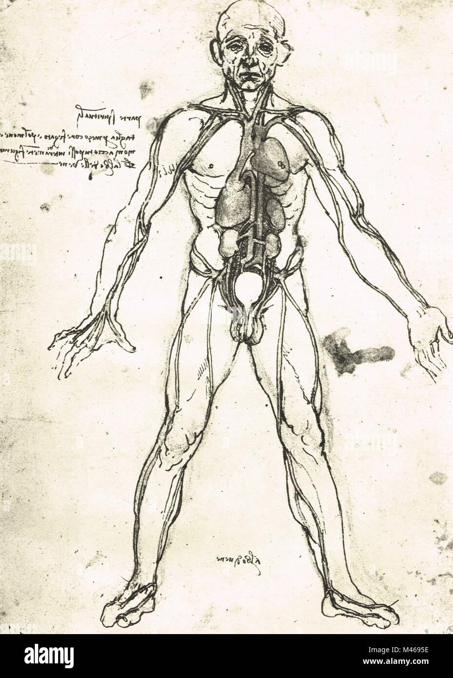 Figura anatómica de un hombre, para mostrar el corazón, pulmones y ...