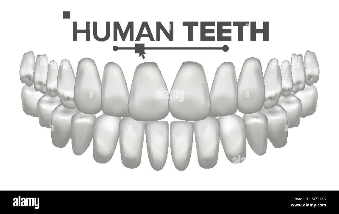 Anatomía de la boca dientes vector. Los dientes humanos. Dientes ...