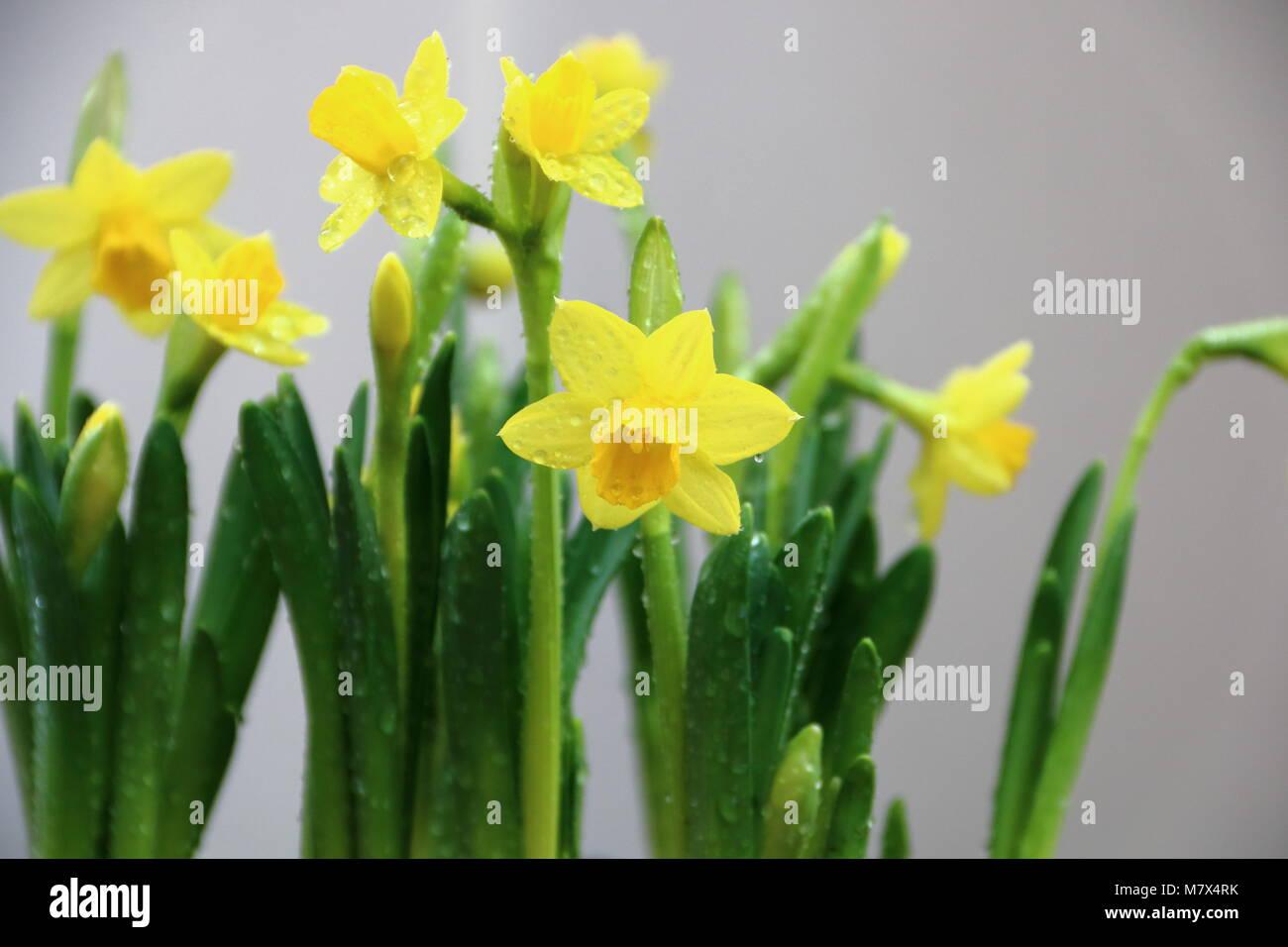 Narcisos Amarillos Narciso Tete A Tete Foto Imagen De Stock - Narcisos-amarillos