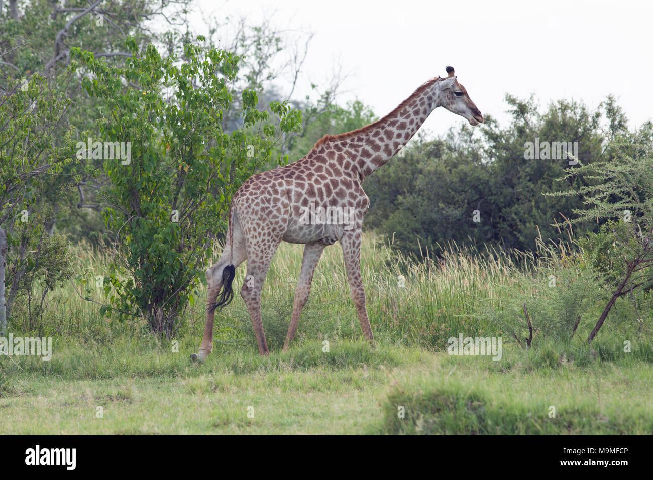 Jirafa (Giraffa camelopardalis angolensis). Nota La forma, la trama ...